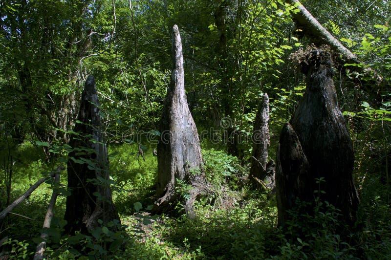 Cipresknieën in midden van bos stock foto