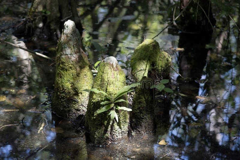 Cipresknieën in moeras met zonlicht en mos royalty-vrije stock afbeeldingen