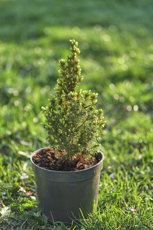 cipresso Pino in un vaso sull'erba verde immagini stock libere da diritti