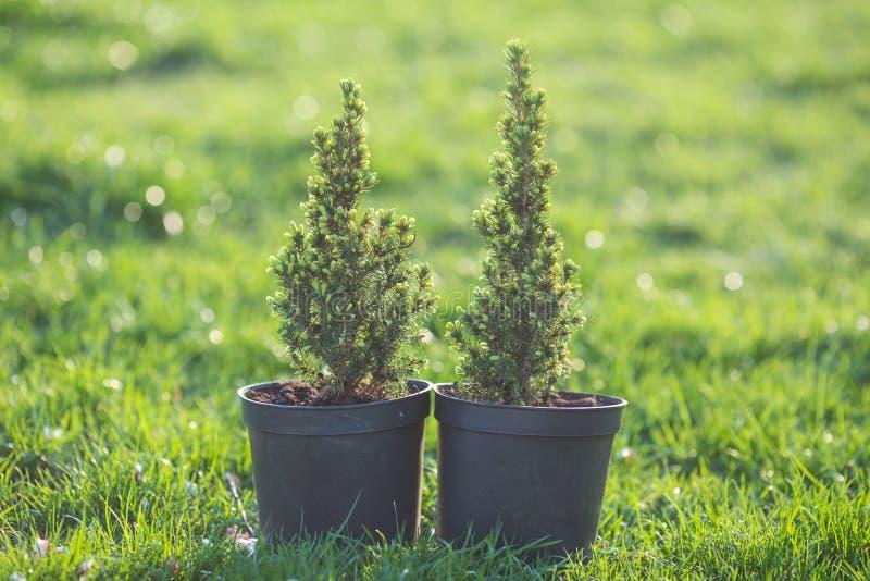 cipresso Pino in un vaso sull'erba verde fotografia stock