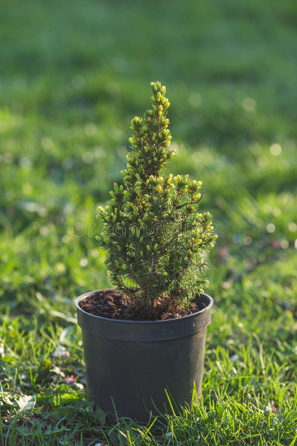 cipresso Pino in un vaso sull'erba verde fotografie stock libere da diritti