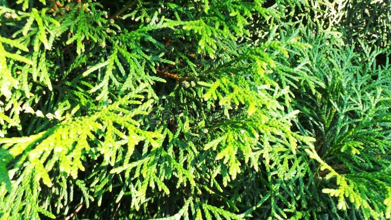 Cipresso sempreverde verde fotografia stock