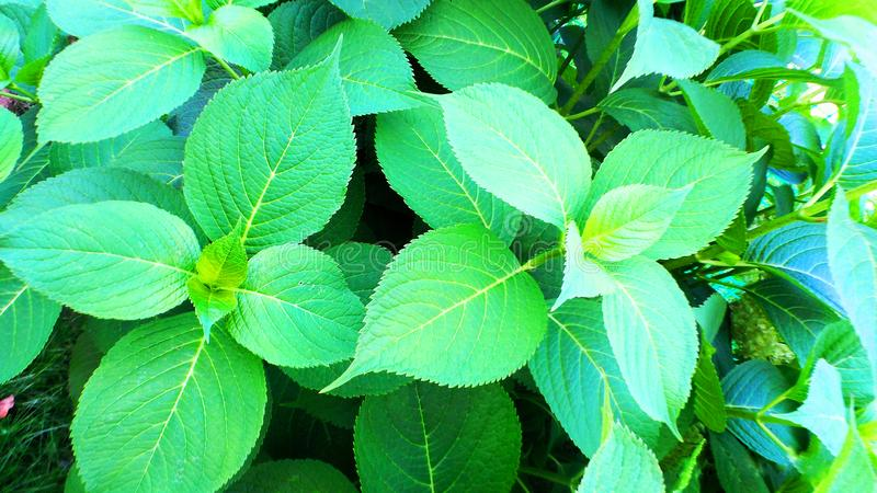 Cipresso sempreverde verde fotografia stock libera da diritti