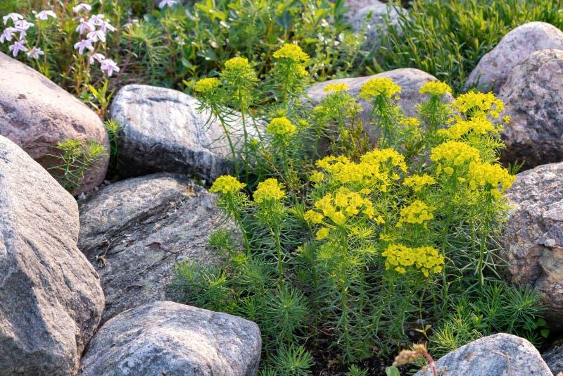Cipreste de florescência do eufórbio e outras flores em um jardim ornamental pequeno no jardim do verão imagens de stock royalty free