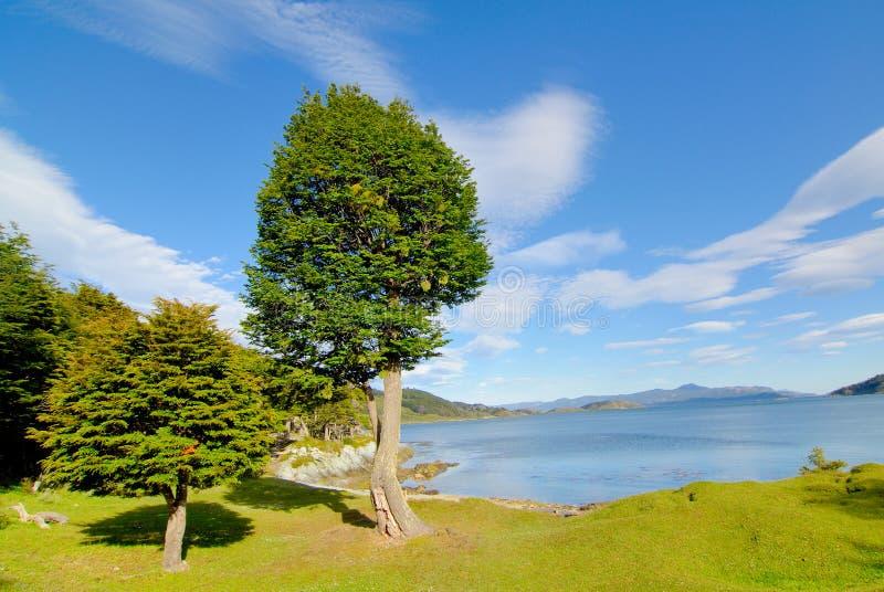 cipreste dois no patagonia imagens de stock royalty free