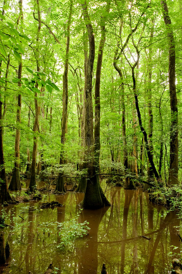 Ciprestes calvos no parque nacional de Congaree fotografia de stock