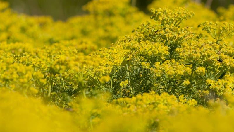 Cipreswolfsmelk, Cypress Spurge, cyparissias do eufórbio imagem de stock