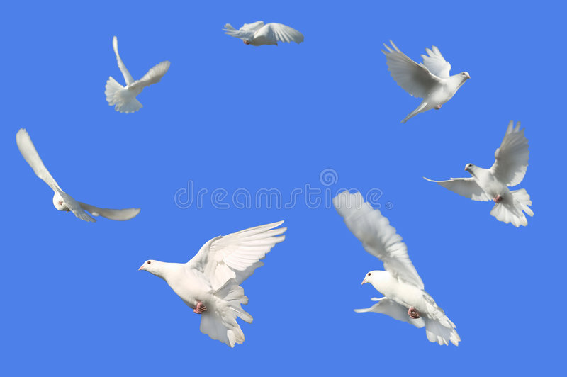 Circle of Doves. Concept image of Peace - White Dove's flying in a circle against a bright blue sky
