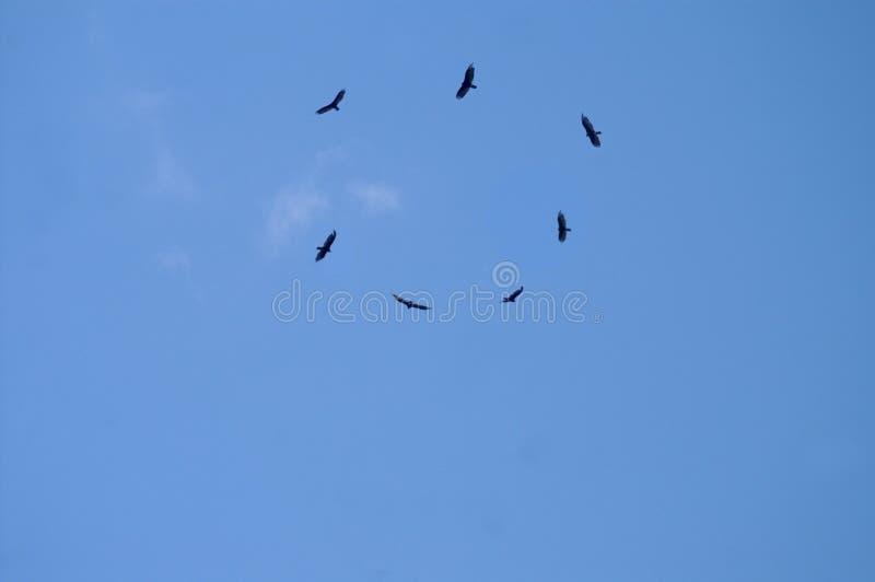 Download Circle Of Hawks Soaring Overhead Stock Photo - Image: 14854256