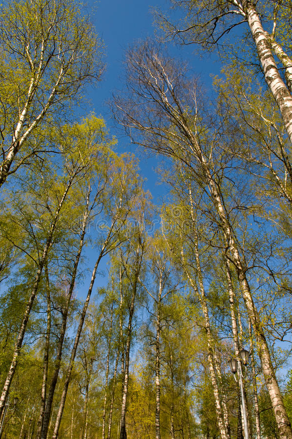 Download Circle of spring birches stock photo. Image of blue, circle - 10894352