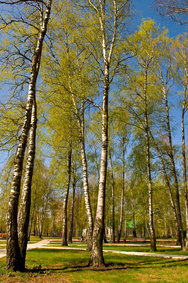 Download Circle of spring birches stock image. Image of beautiful - 10894353