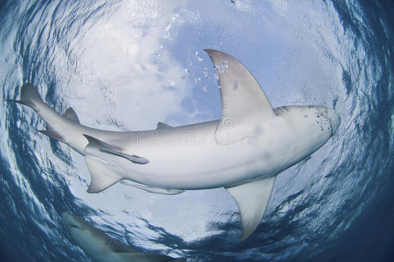 Circling shark stock photography