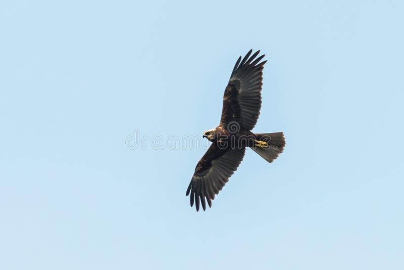 Circo occidentale Aeruginosus di Marsh Harrier in volo fotografia stock libera da diritti