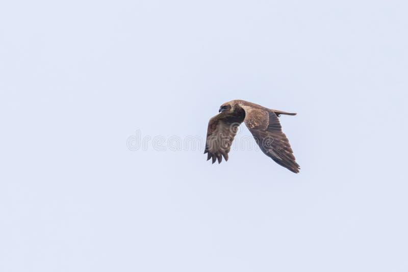 Circo occidentale Aeruginosus di Marsh Harrier in volo immagini stock libere da diritti