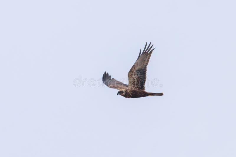 Circo occidentale Aeruginosus di Marsh Harrier in volo fotografia stock