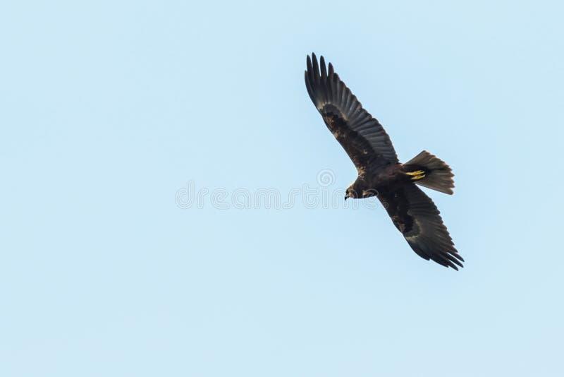 Circo occidentale Aeruginosus di Marsh Harrier in volo fotografie stock libere da diritti