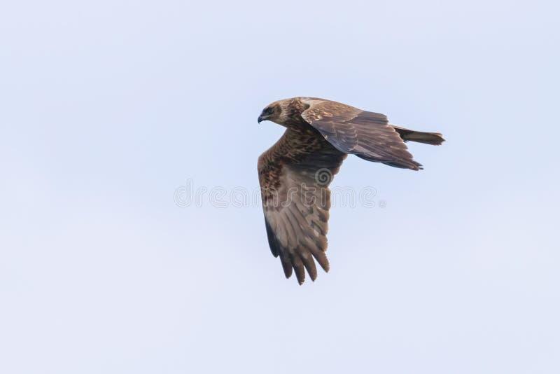 Circo occidentale Aeruginosus di Marsh Harrier in volo immagine stock