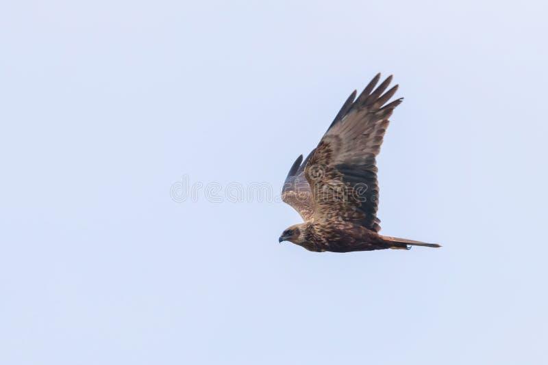 Circo occidentale Aeruginosus di Marsh Harrier in volo fotografie stock