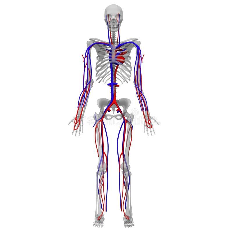 Circolatorio e di scheletro illustrazione vettoriale