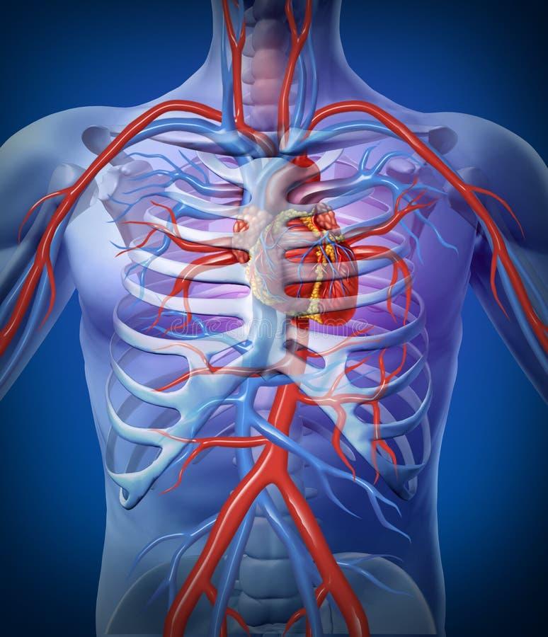 Circolazione di cuore umana in uno scheletro illustrazione vettoriale