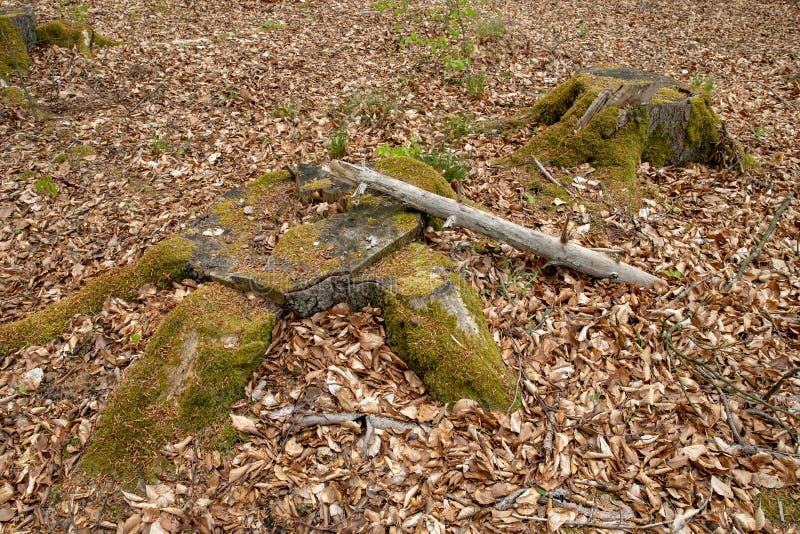 Circuito di collegamento di albero muscoso tronco invaso di una latifoglia fotografie stock