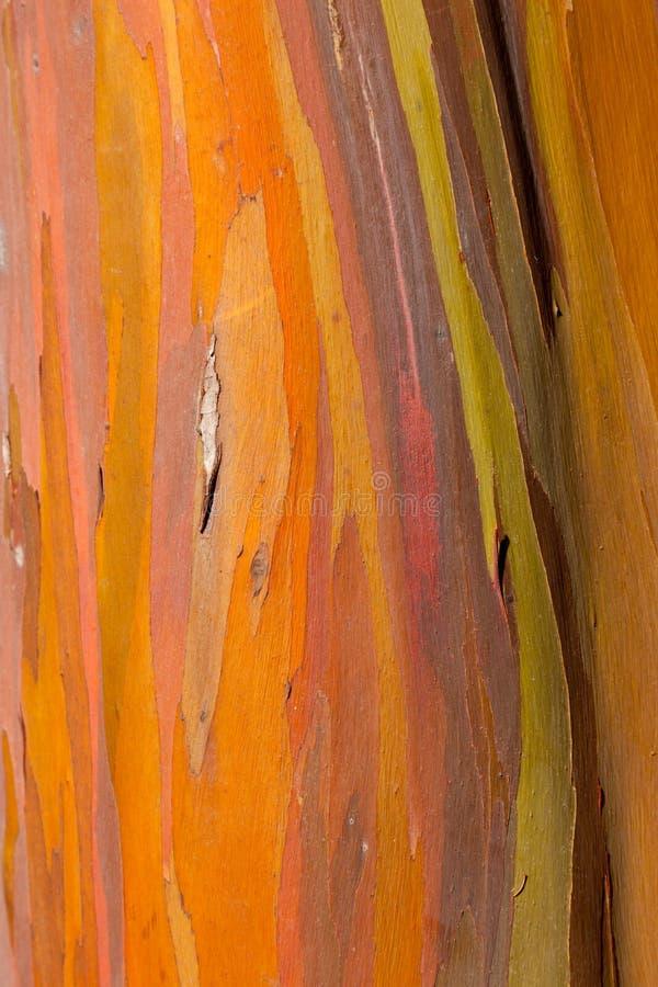 Circuito di collegamento dell'albero di eucalyptus fotografia stock libera da diritti