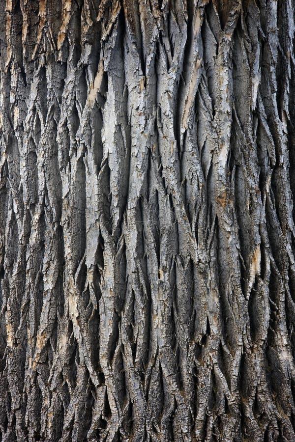 Circuito di collegamento di albero gigante del cottonwood immagini stock libere da diritti