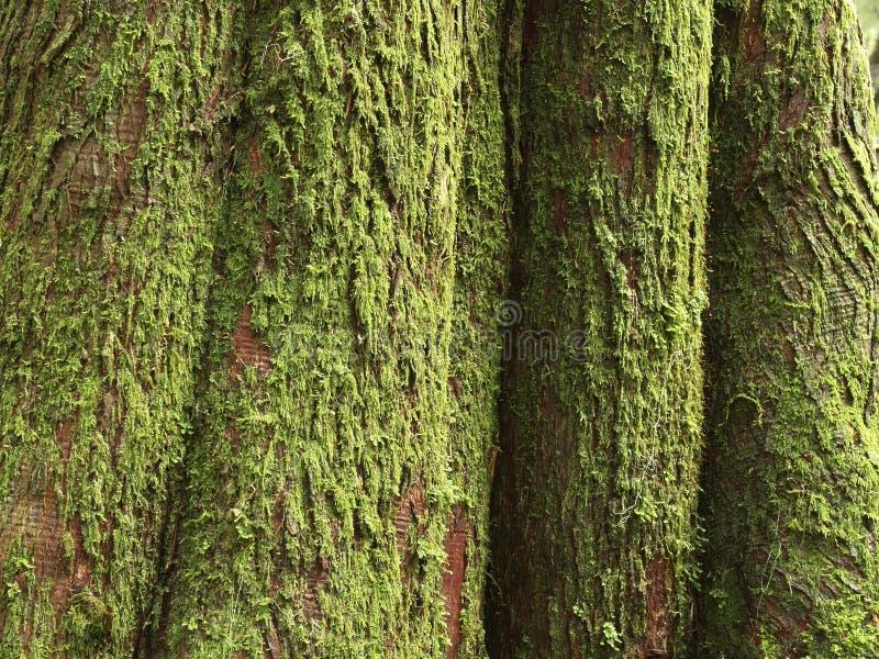 Circuito di collegamento di albero muscoso del cedro immagini stock