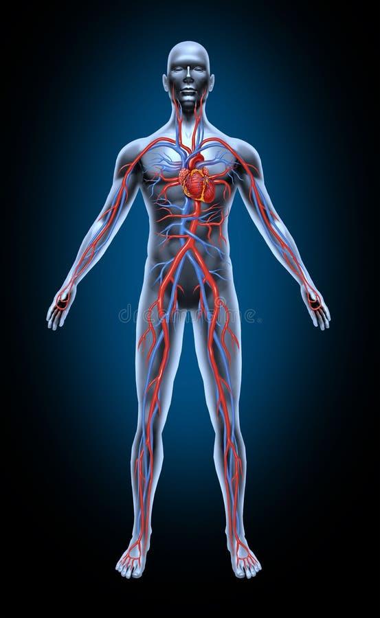 Circulação de sangue humano ilustração royalty free