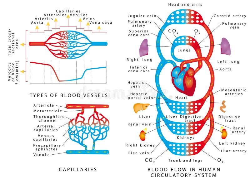 Circulação sanguínea humana ilustração royalty free