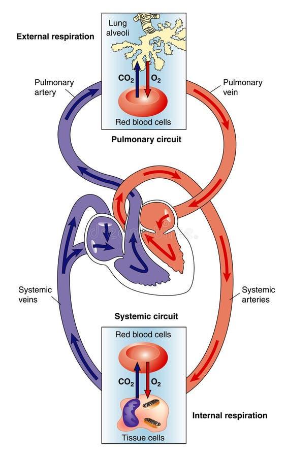 Circulações sistemáticas e pulmonaas ilustração royalty free