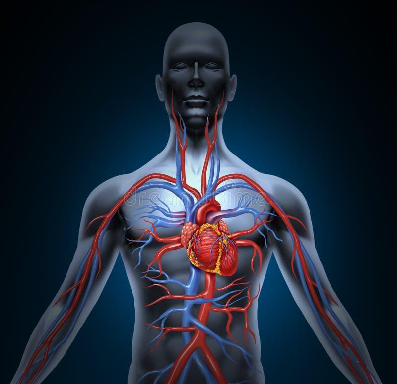 Circulación de corazón humana stock de ilustración
