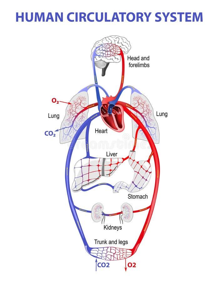 Circulación sanguínea humana ilustración del vector