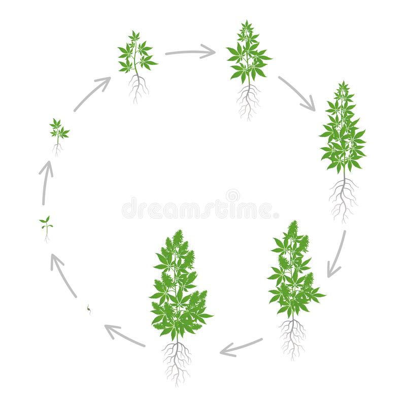 Circular growth stages of hemp plant. Marijuana round phases set. Cannabis indica ripening period. The life cycle. Weed. Growing. Isolated vector illustration stock illustration