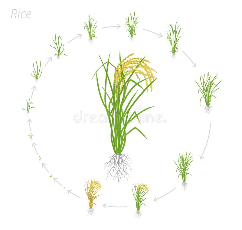 Circular life cycle of rice. Growth stages of rice plant. Rice increase phases. Vector illustration. Oryza sativa. Ripening period. On white background vector illustration