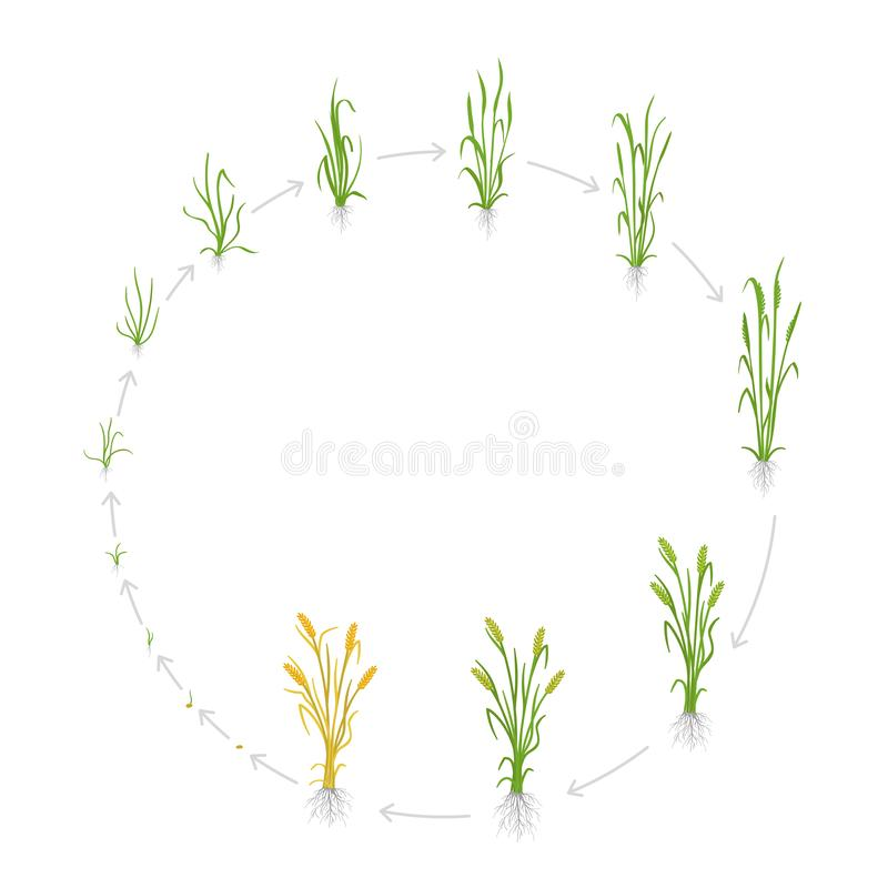 Circular life cycle of rye grain. Growth stages of Rye plant. Cereal increase phases. Vector illustration. Secale stock illustration