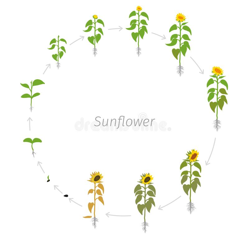 Circular life cycle of Sunflower plant. Helianthus annuus. Round Growth stages vector illustration stock illustration