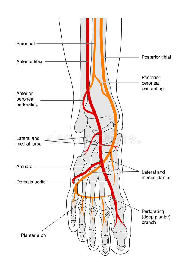 Circulation of the foot - labelled stock illustration