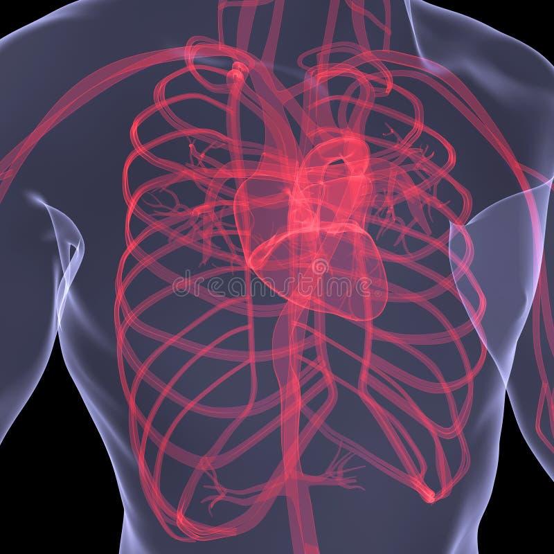 Circulation sanguine humaine illustration libre de droits