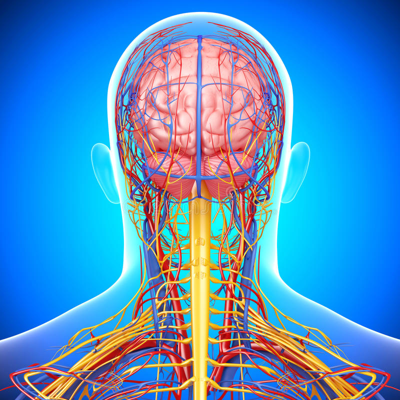 Download Circulatory And Nervous System Of Male Head Stock Illustration - Image: 26306874