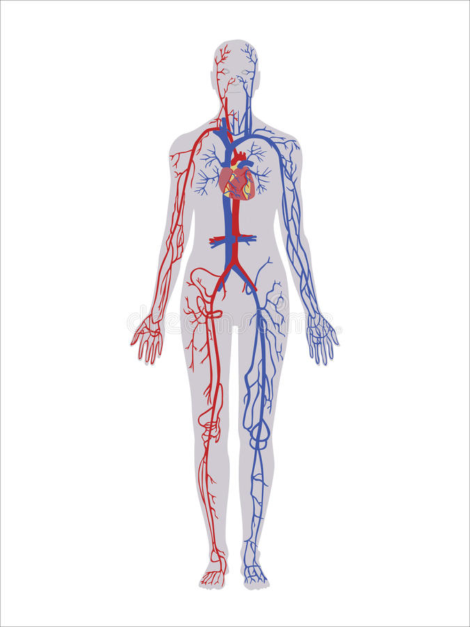 Circulatory System vector illustration