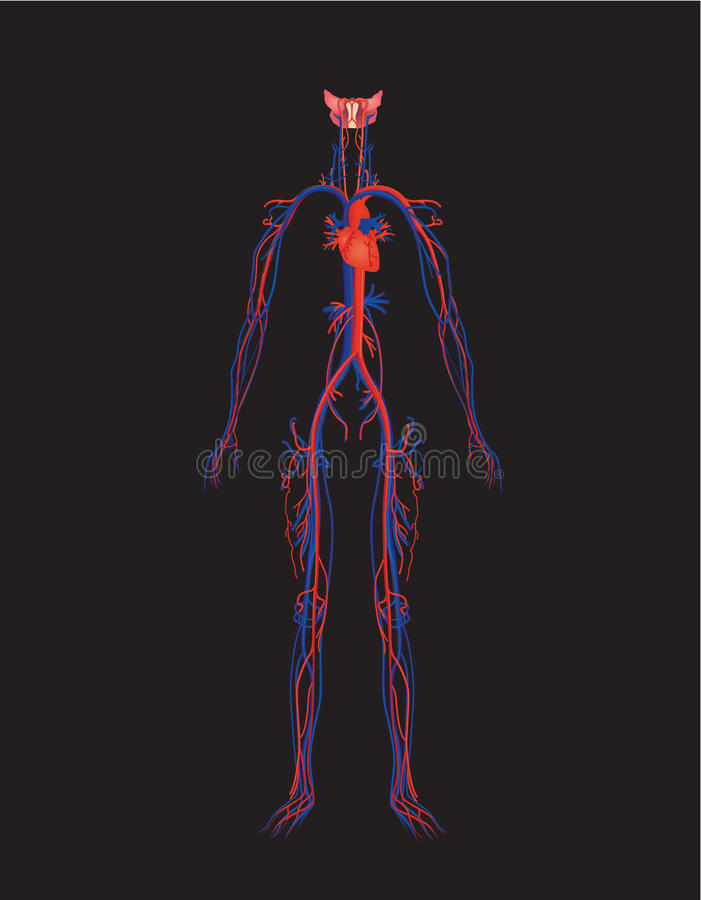 Download Circulatory system stock illustration. Illustration of circulatory - 19281503