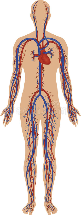 Circulatory System Royalty Free Stock Photography