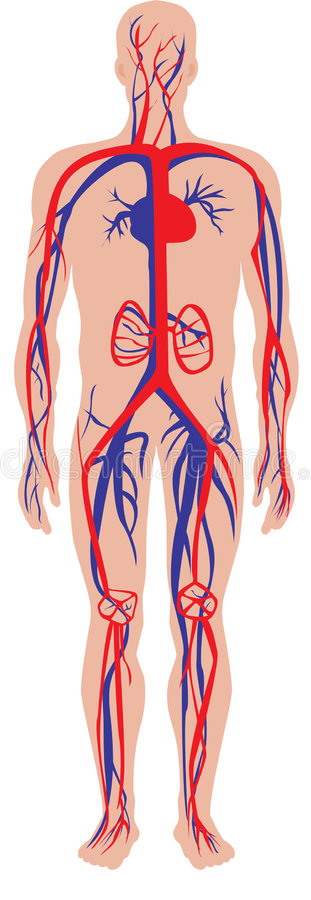 Download Circulatory system stock illustration. Image of body, blood - 7023562