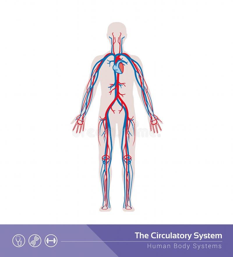 The circulatory system. The circulatory or cardiovascular human body system medical illustration vector illustration