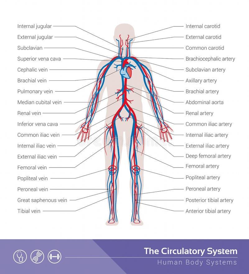 The circulatory system. The circulatory or cardiovascular human body system medical illustration stock illustration