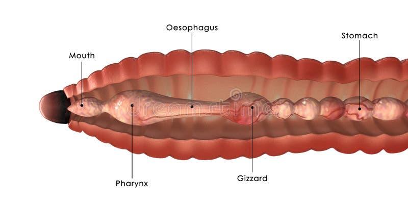 Circulatory System Of Earthworm Stock Illustration Illustration Of