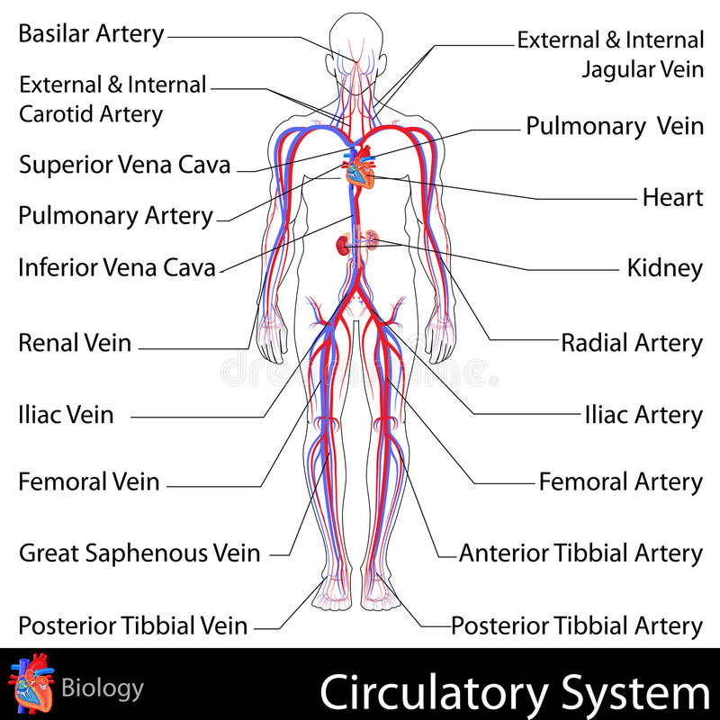 Circulatory system stock vector illustration of human 31172058 easy to edit vector illustration of circulatory system ccuart Gallery