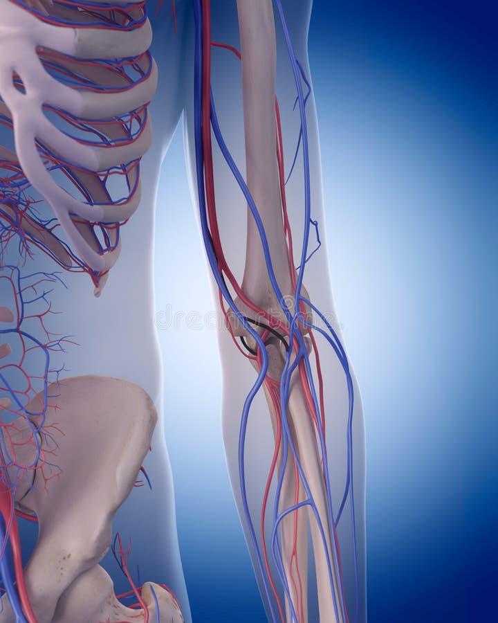 The circulatory system - elbow. Medically accurate illustration of the circulatory system - elbow stock illustration
