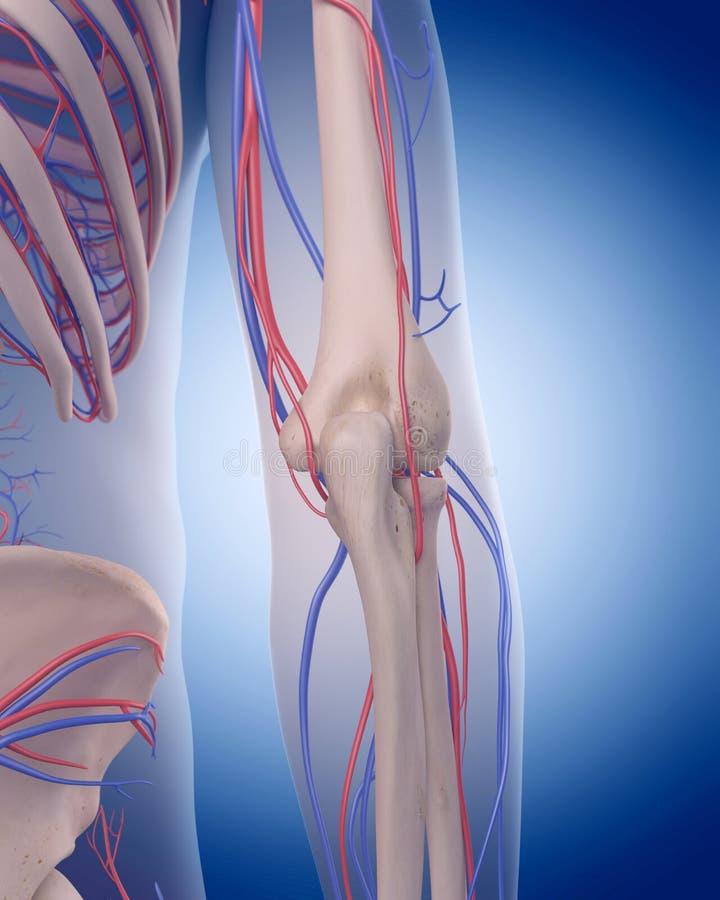 The circulatory system - elbow. Medically accurate illustration of the circulatory system - elbow vector illustration